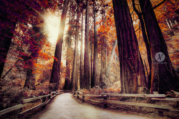 Muir Woods, Framed Art, Fine Art Prints, Home, Office, Professional Photography