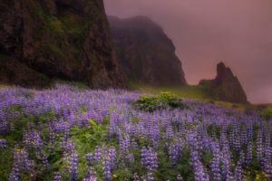 Lupines, Flowers, Iceland, Landscape, Green Moss, Mountains, Framed Art, Fine Art Prints, Home, Office, Professional Photography